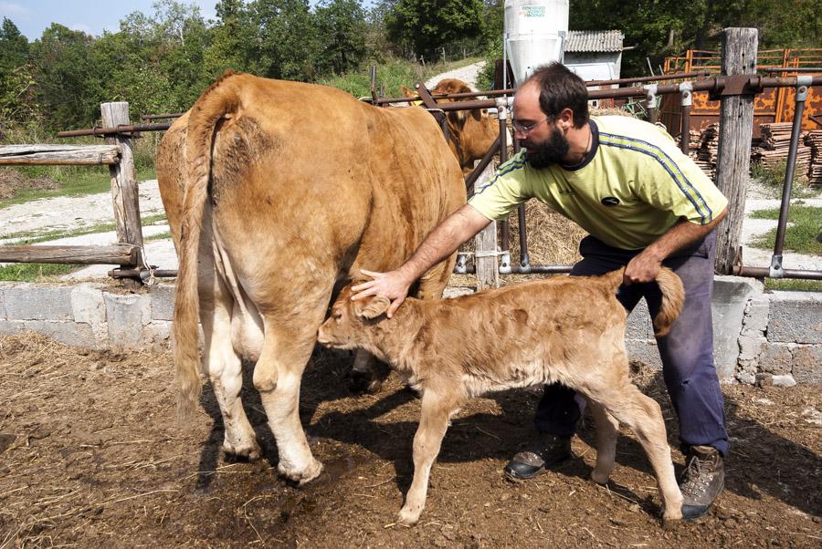 Allevamento semibrado di bovini Cooperativa Agricola Canedo