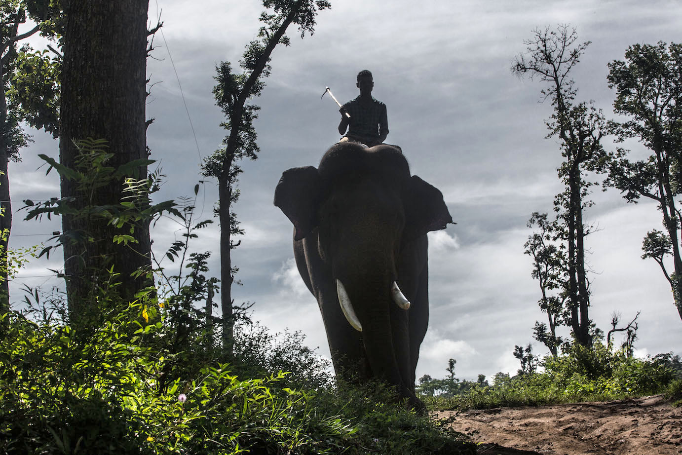 Dubare forest . Elephant