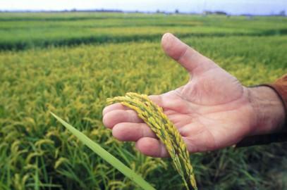 Le risaie rischiano di scomparire
